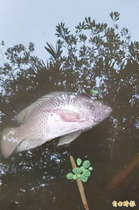 大東濕地公園出現死魚。(記者陳文嬋攝)