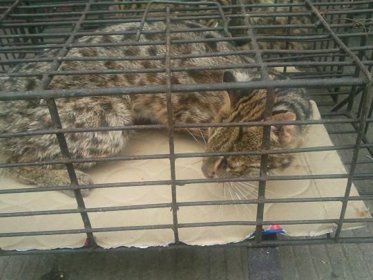 亞洲豹貓(石虎)被當成食物販賣。(圖翻攝自LIHKG討論區)