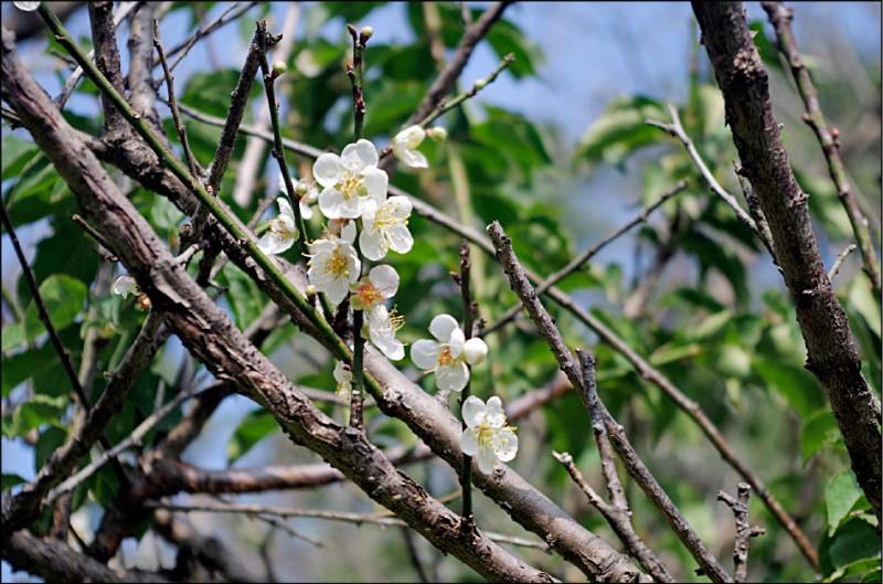 梅山公園即日起至農曆過年前都是賞花期。(記者王善嬿攝)