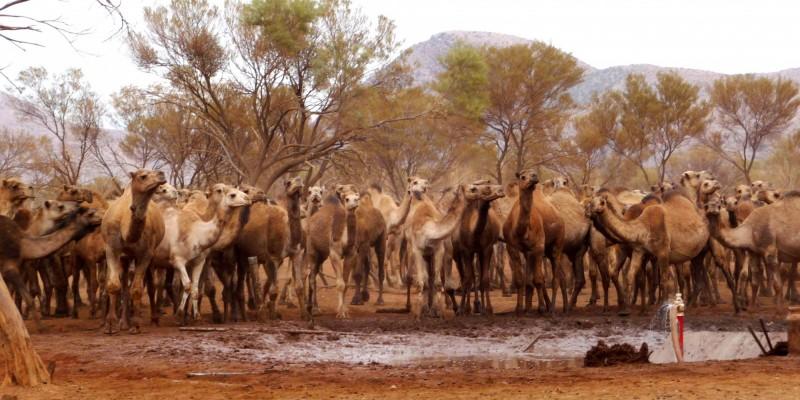 澳洲乾旱地區預計展開大規模撲殺駱駝的行動,以阻止駱駝過量飲水、排放溫室氣體。(歐新社)