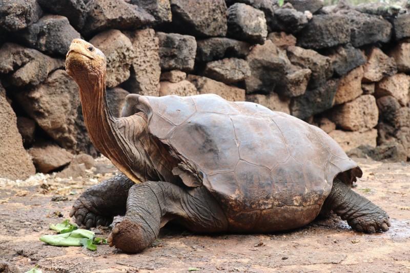 厄瓜多加拉巴哥群島聖克魯茲島上的加拉巴哥象龜瀕臨滅絕,加拉巴哥國家公園搬來救兵「迪亞哥」(Diego,圖)協助育種,沒想到牠在島上瘋狂啪啪啪讓雌龜紛紛懷孕,目前約有800隻後代。(歐新社)