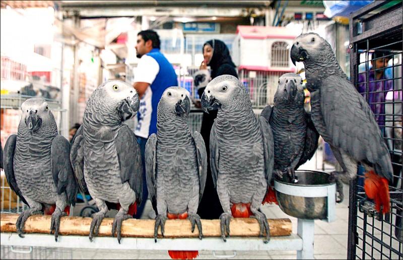 最新科學研究,首次發現非洲灰鸚鵡具有無私助「鳥」的天性。(法新社檔案照)