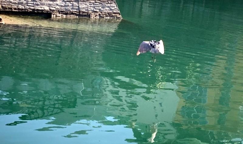 南投縣日月潭有漁民罕見地拍到老鷹在潭面獵捕魚兒的畫面。(記者謝介裕翻攝)