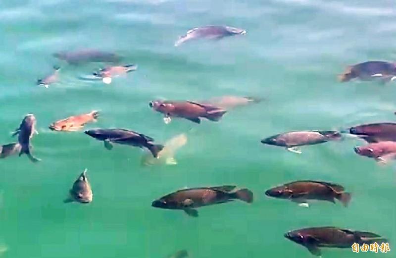 南投縣日月潭生態豐富,潭面不時可見三五成群的魚群悠遊情景。(記者謝介裕攝)