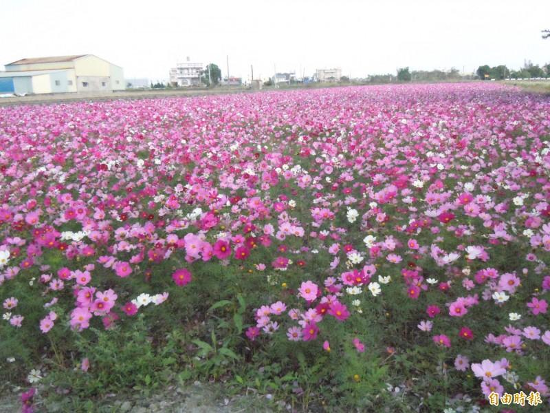 彰化縣是全台最大規模的花卉產地,田園花海美景處處可見。(記者張聰秋攝)