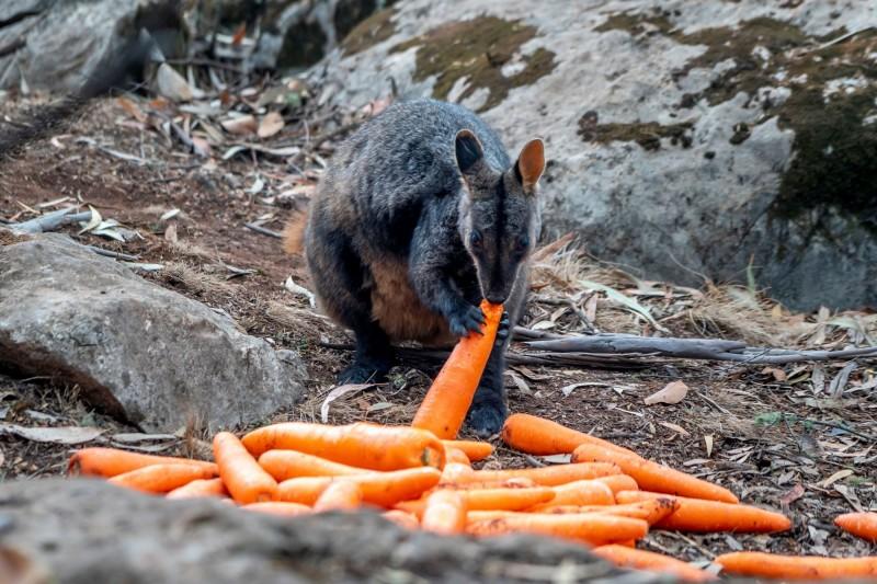 澳洲政府空頭大量糧食面臨饑荒的岩袋鼠。(路透)