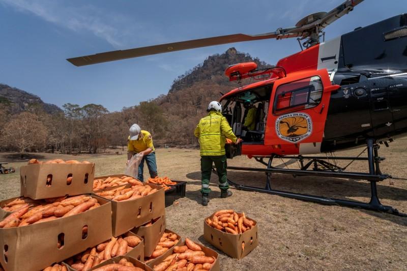澳洲政府發起「岩袋鼠計畫」,空投超過2200公斤的胡蘿蔔和番薯給棲地受大火破壞,失去食物來源的岩袋鼠。(路透)