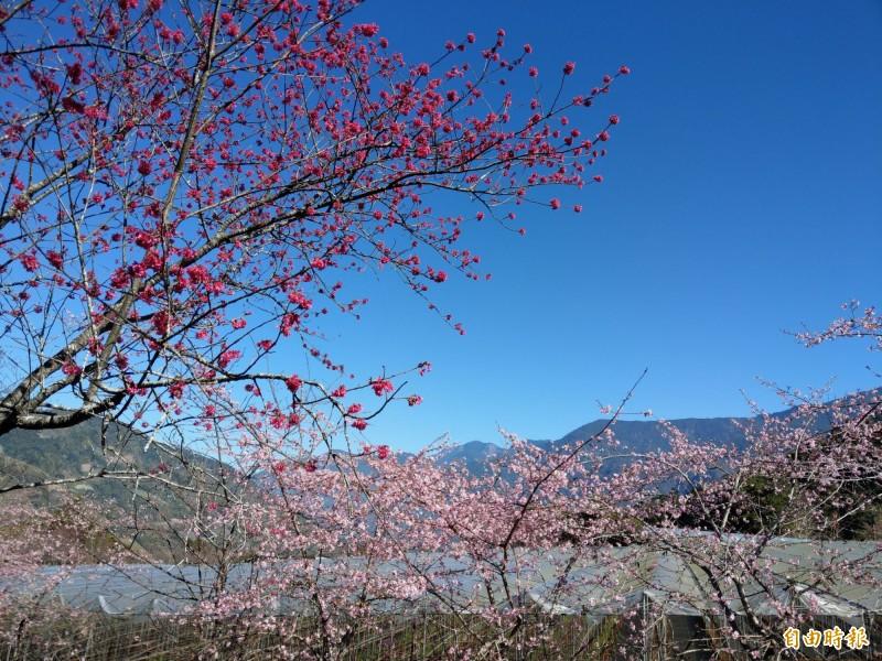 南投信義鄉草坪頭除山櫻花(左)綻放「櫻」姿,連粉嫩的河津櫻(下排)也開出粉紅花朵,景色相當美麗。(記者劉濱銓攝)