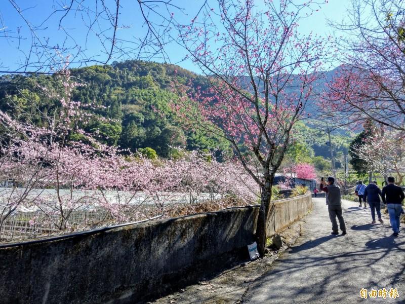 南投信義鄉草坪頭除山櫻花(右側)綻放四、五成,連粉嫩的河津櫻(左側)也開出粉紅花朵,景色相當美麗。(記者劉濱銓攝)