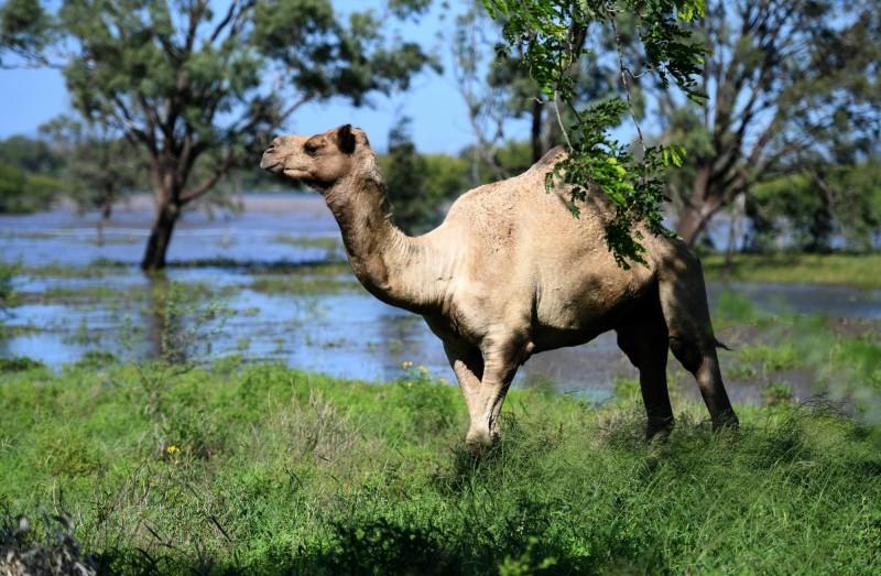 澳洲官員今(14)日表示,在5天行動中,槍手已從直升機上射殺了5000隻駱駝。(歐新社檔案照)