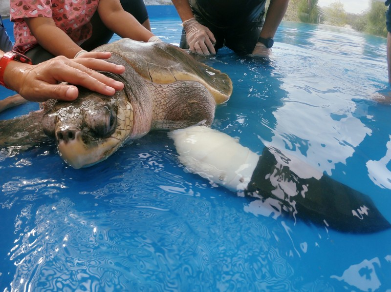 許多海龜經常因為人類製造的垃圾,而陷入生命危險,古迪在幾年前因被魚網困住失去了左前肢。(路透)