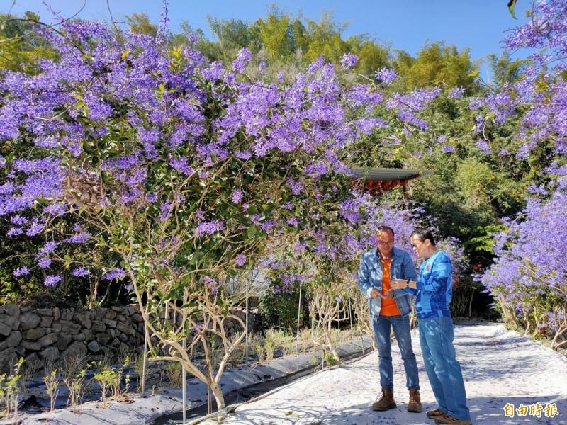 埔里鎮青農陳新豪的有機農場栽種許多的錫葉藤,最近提早盛開,呈現「紫爆」美景。(記者佟振國攝)