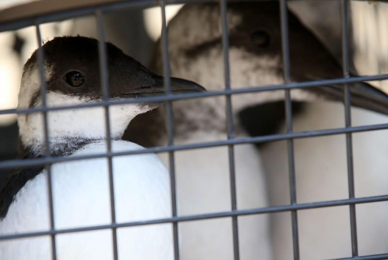 美國科學家研究證實,2015至2016年間北太平洋近百萬隻崖海鴉(common murre)暴斃,是海水升溫造成「熱點」(the Blob)加上「聖嬰現象」所致。(法新社)