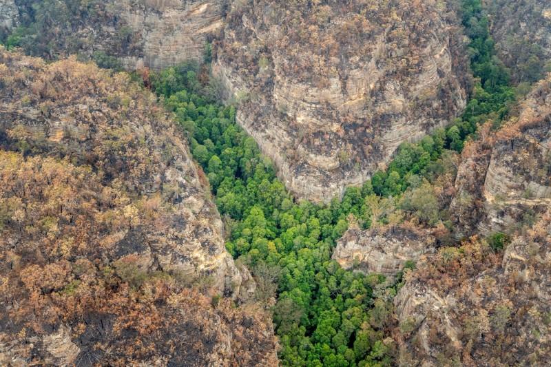 澳洲當局秘密保護從史前時代就已存活在地球上的「恐龍樹」。(路透)