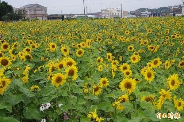 迎新春,苑裡鎮將舉辦花海活動迎賓,圖為去年花海美景。(資料照,記者蔡政珉攝)