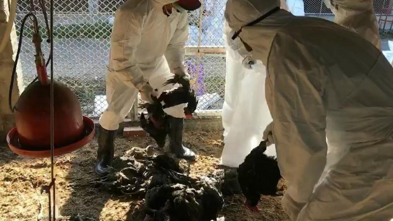 彰化縣竹塘鄉1家土雞場卻傳出禽流感疫情,檢體報告確診感染H5N2亞型高病原性禽流感疫毒,場內2萬多隻土雞全部殺光光,殺到1隻都不留。(圖動防所提供)