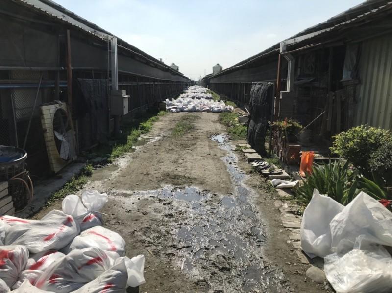 因疫情爆發而被「安樂死」撲殺的雞隻屍體完全密封送化製廠焚化處理,不會流出市面。(圖動防所提供)