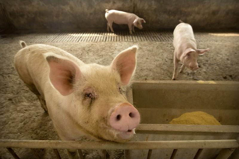 波蘭一處農場的主人失蹤多天,隨後農場裡發現人骨,當局懷疑他可能是被豬吃掉了。豬隻示意圖。(美聯社)