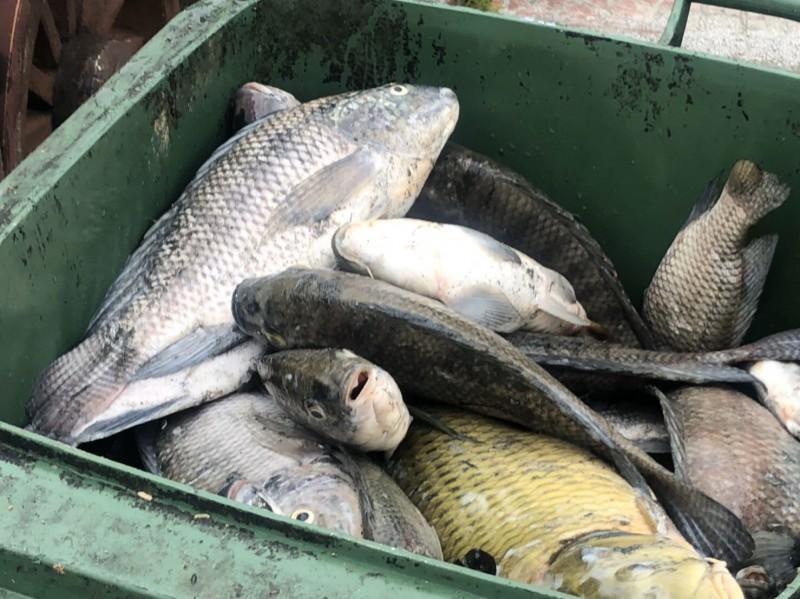 新竹縣竹北市豆子埔溪出現大量魚群翻肚,縣府相關單位獲報後,今天委託竹北市清潔隊協助打撈,一天即清運3噸多的死魚,明天(18日)還將繼續執行。(記者廖雪茹翻攝)
