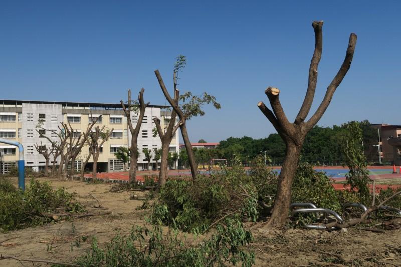 印度紫檀、黃連木斷頭修剪。(記者黃旭磊翻攝)