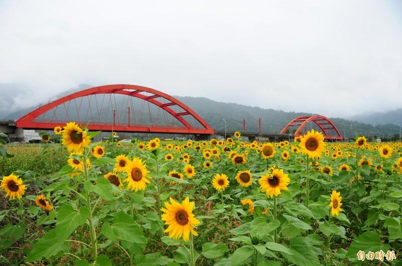 玉里客城鐵橋今年開向日葵,春節假期將成為拍照打卡熱點。(記者花孟璟攝)