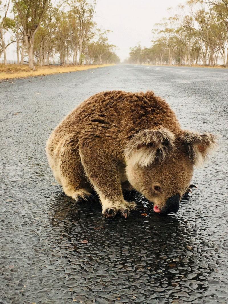 新南威爾斯州一隻無尾熊口渴得不行,跑到路上舔食積水。(路透)
