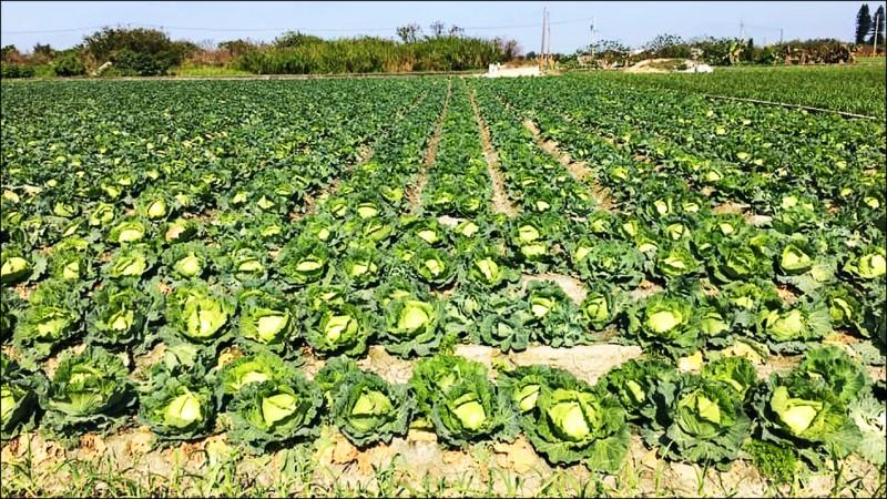 生鮮物流園區具低溫儲藏機制,未來不用再擔心高麗菜產量過剩。(記者蔡宗勳翻攝)
