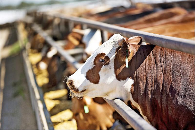 美方要求儘速開放美豬、美牛。(彭博檔案照)