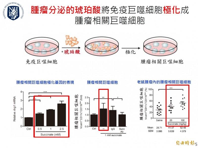 腫瘤分泌的琥珀酸會將免疫巨噬細胞極化成腫瘤相關巨噬細胞。(記者吳亮儀攝)