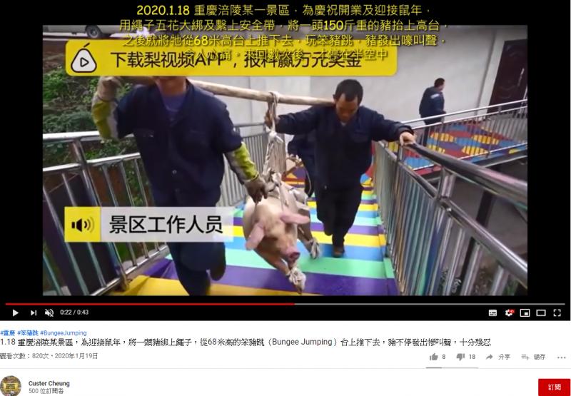 被抬上高台的豬。(圖擷取自YouTube)
