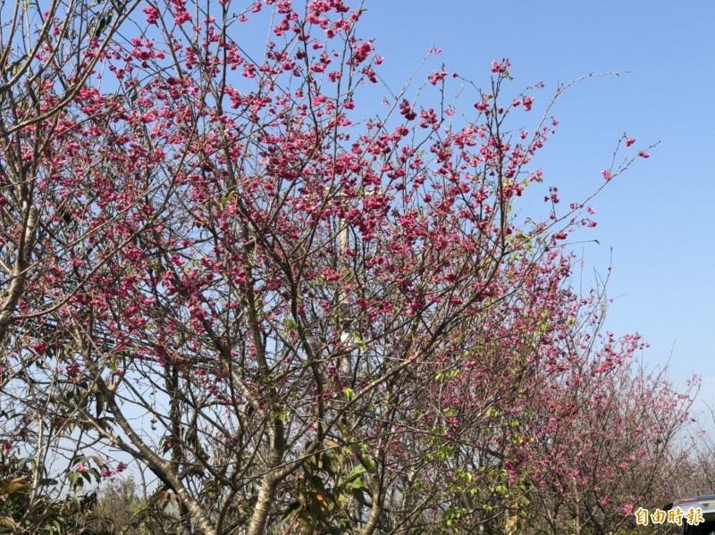 張洲府種植的八重櫻大爆發,美不勝收。(記者湯世名攝)