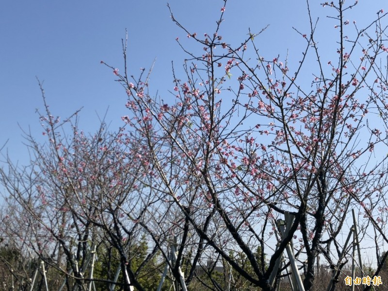 張洲府種植的大寒櫻花大爆發,美不勝收。(記者湯世名攝)