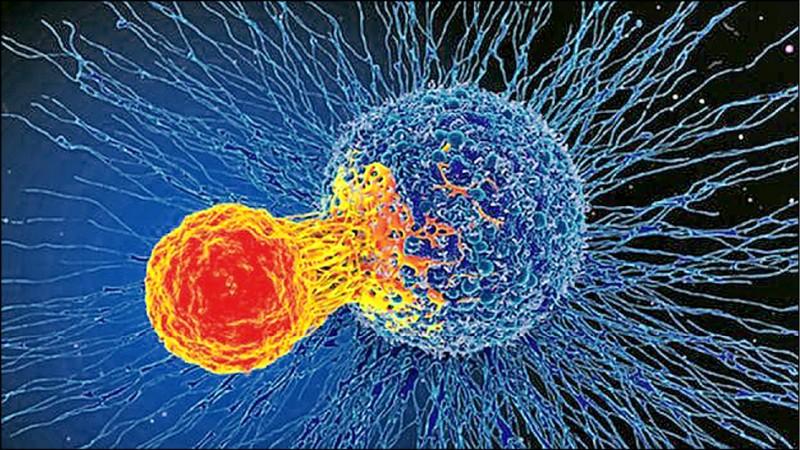 英國卡迪夫大學研究團隊,公布利用生物工程改造癌症病患的T細胞來治病,且可進階「通殺」各種癌症;圖為T細胞攻擊癌細胞。(取自網路)