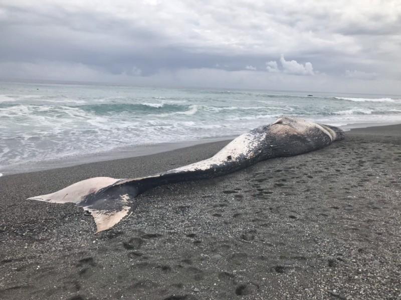 長須鯨的身形偏瘦,王浩文懷疑牠因被繩索套住,影響進食致死。(記者黃明堂翻攝)