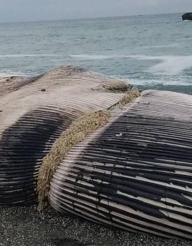 長濱死亡長須鯨胸部位置被繩索環繞,疑致命主因之一。(記者黃明堂翻攝)