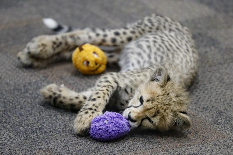 印度最高法院今(28)日宣判,政府可讓非洲獵豹(African cheetahs)重回野外,但必須謹慎選擇地點,結束獵豹在印度絕種超過70年的歷史。圖為獵豹寶寶示意圖。(美聯社)