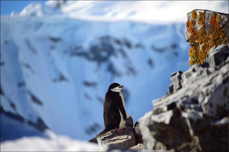 奧恩港的「帽帶企鵝」。(法新社)