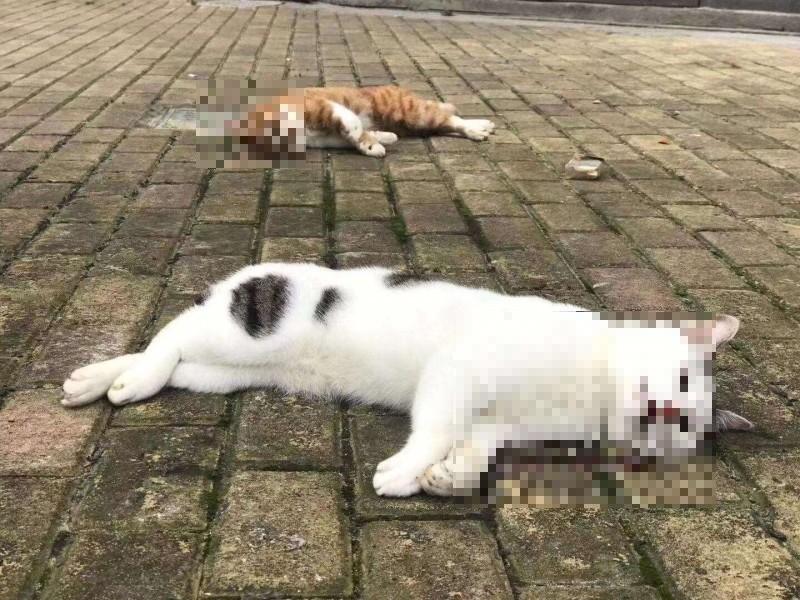 中國媒體近日引述專家指稱,「寵物也會傳染新型肺炎」,引起恐慌,許多人摔死家裡的貓狗,網友痛批「自私又殘忍」。(圖擷取自微博)