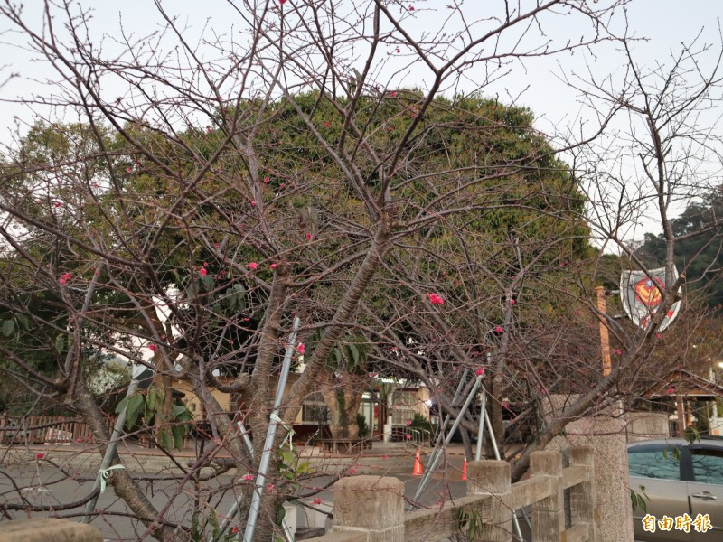 后里泰安櫻花開得少,櫻花季2月15日才登場。(記者歐素美攝)