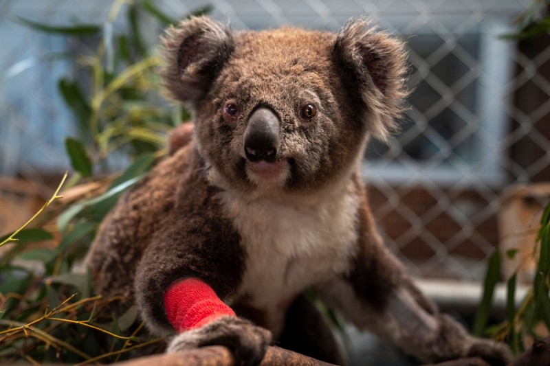 澳洲維多利亞省(Victoria)一座伐木場近日再傳無尾熊曝屍荒野,疑因棲地遭破壞餓死及慘死推土機之下,僅約80隻被救出,澳州政府正針對這起案件進行調查。無尾熊示意圖。(路透)