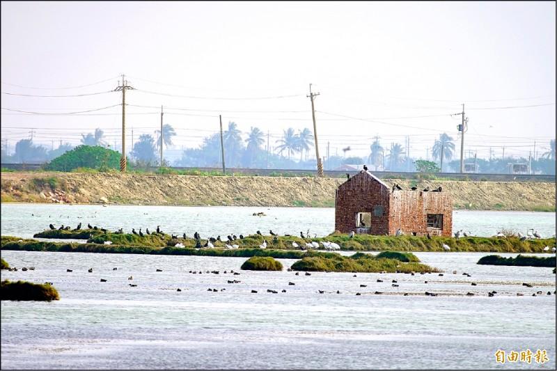 布袋鎮新塭九區鹽田濕地黑面琵鷺族群有50多隻。(記者蔡宗勳攝)