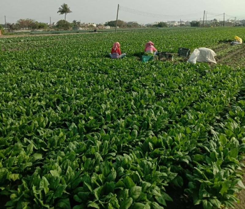 梓官蔬菜種植面積60公頃,因疫情延後開學取消供餐2周,梓官農會將全面吸收農民損失。(記者陳文嬋翻攝)(記者陳文嬋攝)
