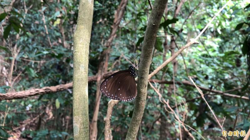 紫蝶幽谷秘密基地裡有上萬隻成群的紫斑蝶。(記者許麗娟攝)