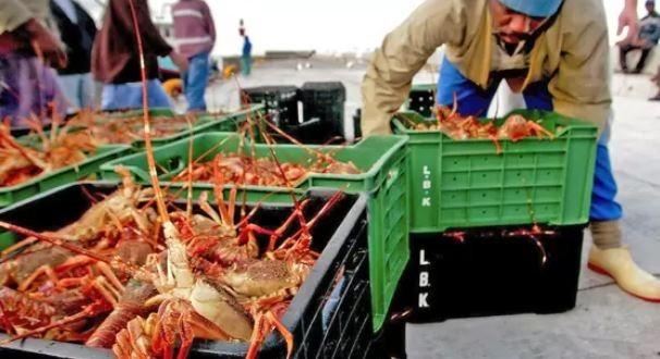 紐西蘭政府研議,要將原本預計出口至中國的岩龍蝦部分野放。圖為龍蝦示意圖。(路透)