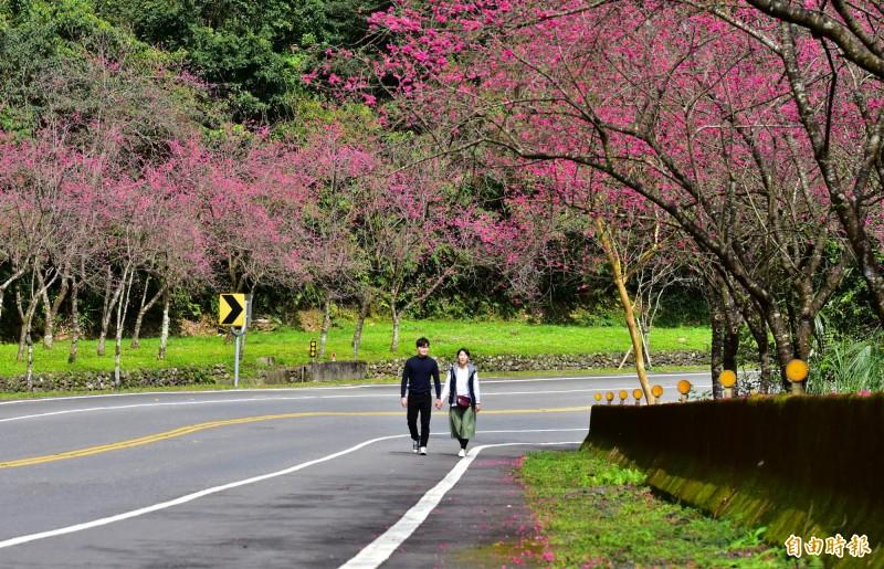 省道台七丙旁的櫻花,最近陸續盛開,成了名符其實的櫻花大道,民眾驅車停下駐足,漫步櫻花樹下。(記者張議晨攝)