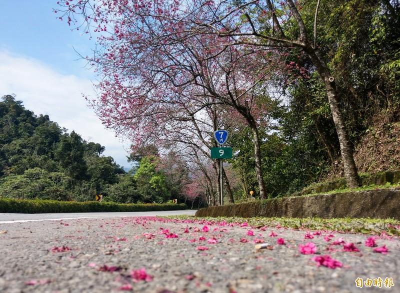省道台七丙旁的櫻花,最近陸續盛開,成了名符其實的櫻花大道。(記者張議晨攝)