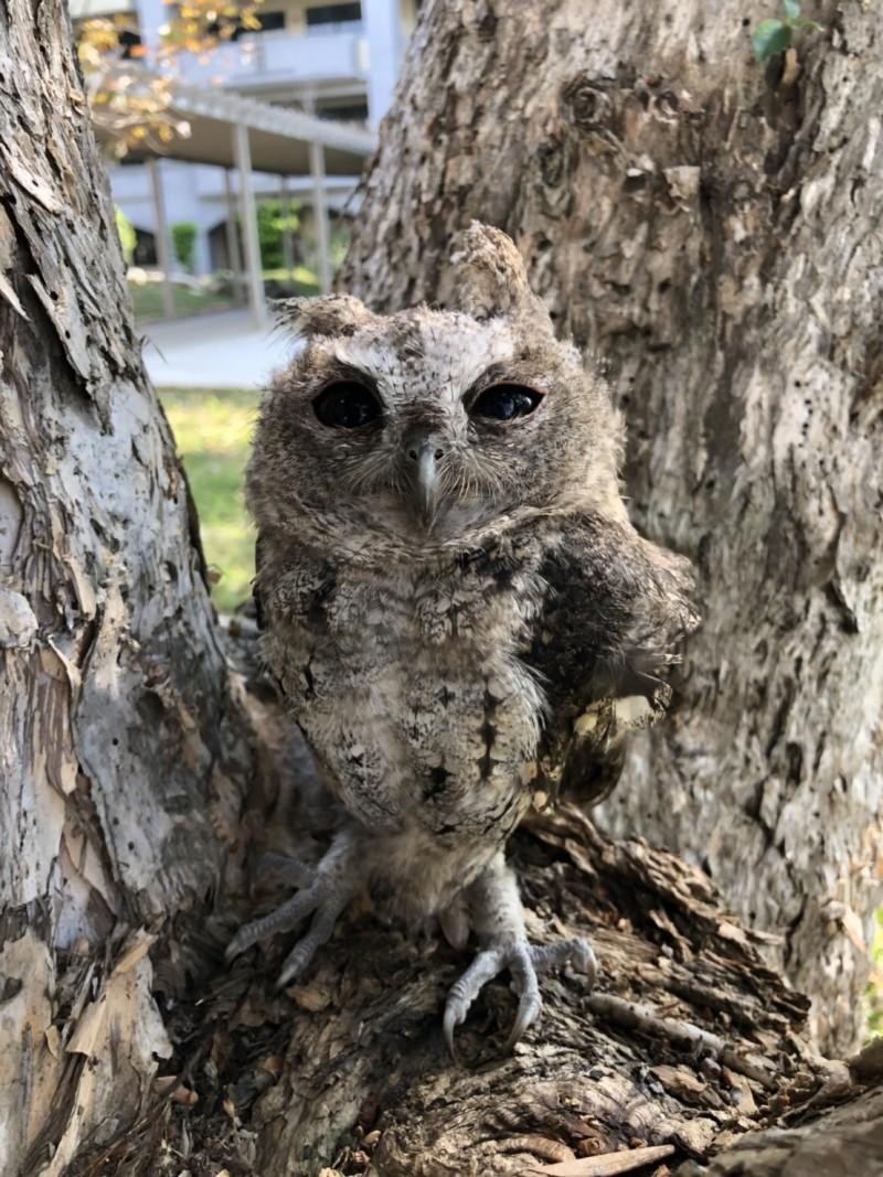 台灣燈會后里森林園區旁,發現出生25天左右的鴒角鴞幼鳥。(記者廖耀東翻攝)
