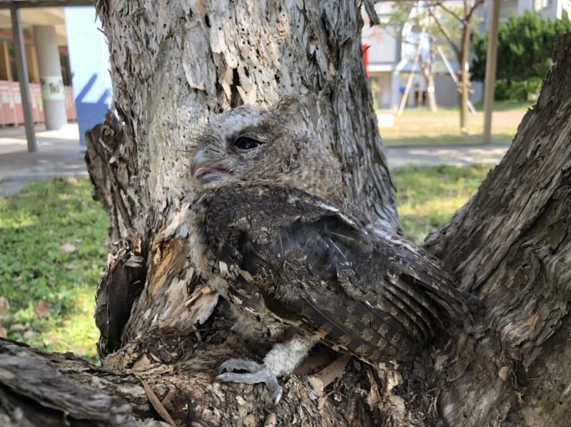台灣燈會后里森林園區旁,發現出生25天左右的鴒角鴞幼鳥,身形與身後樹幹幾乎合為一體,令人一時難以辨識牠的存在。(記者廖耀東翻攝)