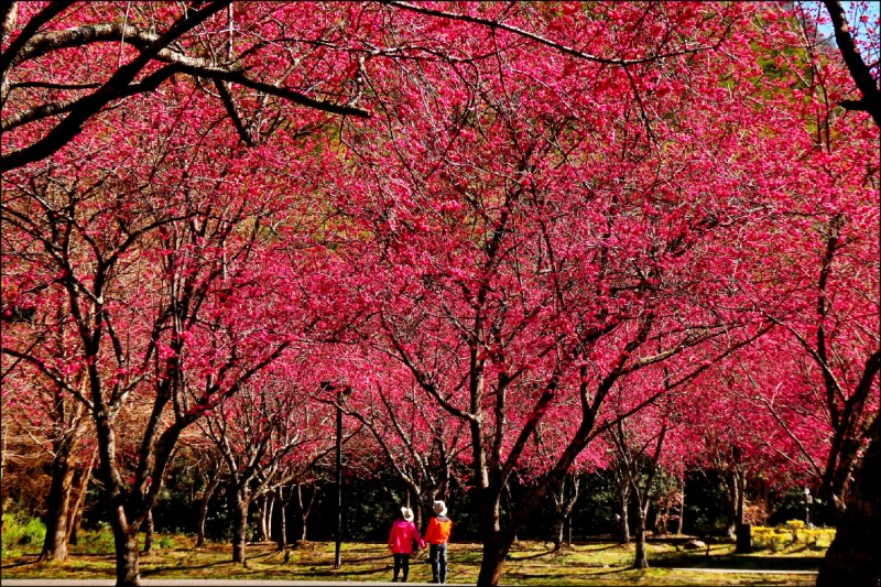 奧萬大櫻花盛開。(奧萬大森林遊樂區提供)