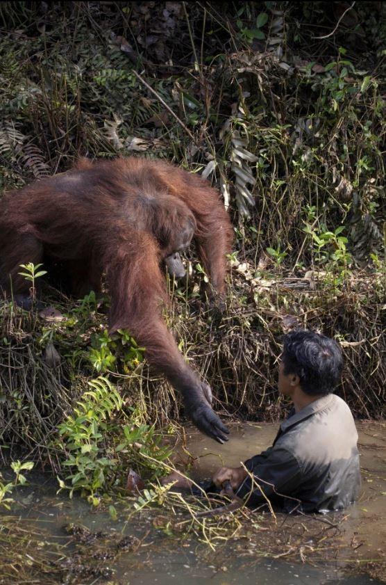 印尼業餘攝影師Anil Prabhakar捕捉到大自然與人類互動珍貴的瞬間,一名紅毛猩猩向一名人類伸出援手。(照片擷取自太陽報)